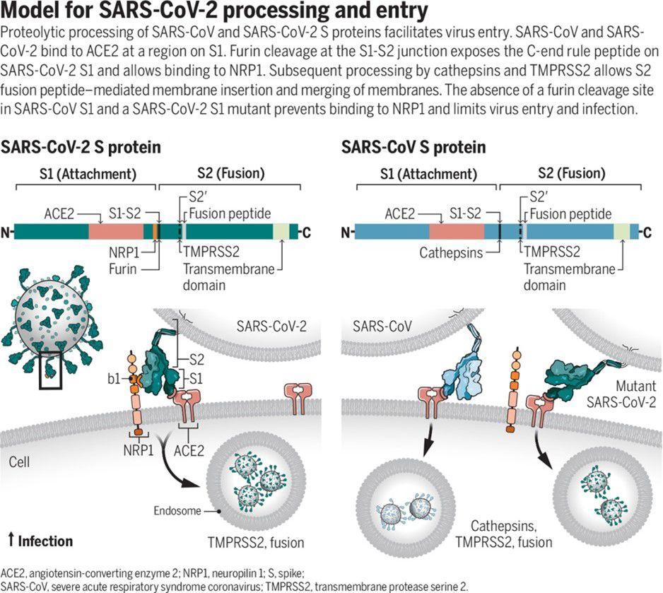 SARS-CoV2 : alertes sur les potentialités toxiques de la protéine Spike