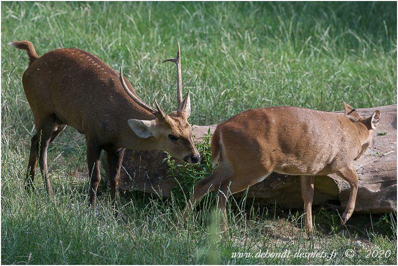 Un cerf cochon approche une biche pour voir si elle est en  chaleurs. Tant qu'elle n'est pas totalement réceptive , la biche se dérobe menant son prétendant par le bout du nez ...et de la langue.