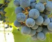 #Red Chianti Producers Wisconsin Vineyards