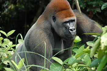 Fauna africana: me entristece enormemente que las futuras generaciones de african@s no lleguen a ver el pangolín gigante, pues esta seriamente amenazado a la extinción y los gobiernos africanos no hacen nada por salvarlo.- El Muni.