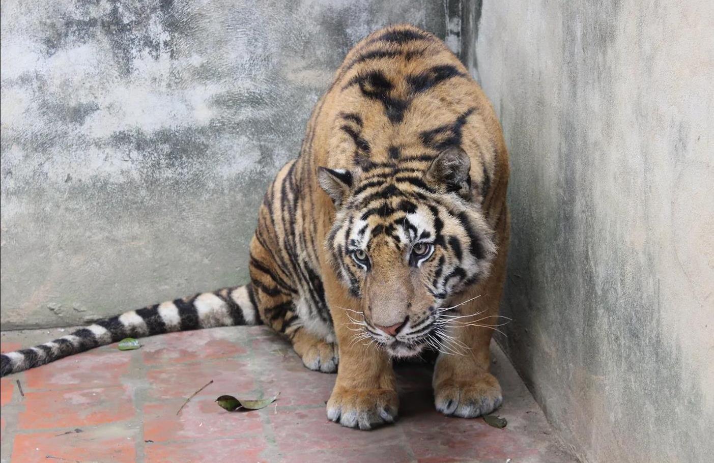 Cette photo d'un tigre enfermé dans un enclos bétonné d'une ferme a été prise au Vietnam en 2016 par des enquêteurs de l'organisation Education for Nature - Vietnam. Photo : Education for Nature – Vietnam (Cliquez pour agrandir)