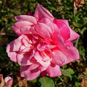 Archiduc Joseph (rose)