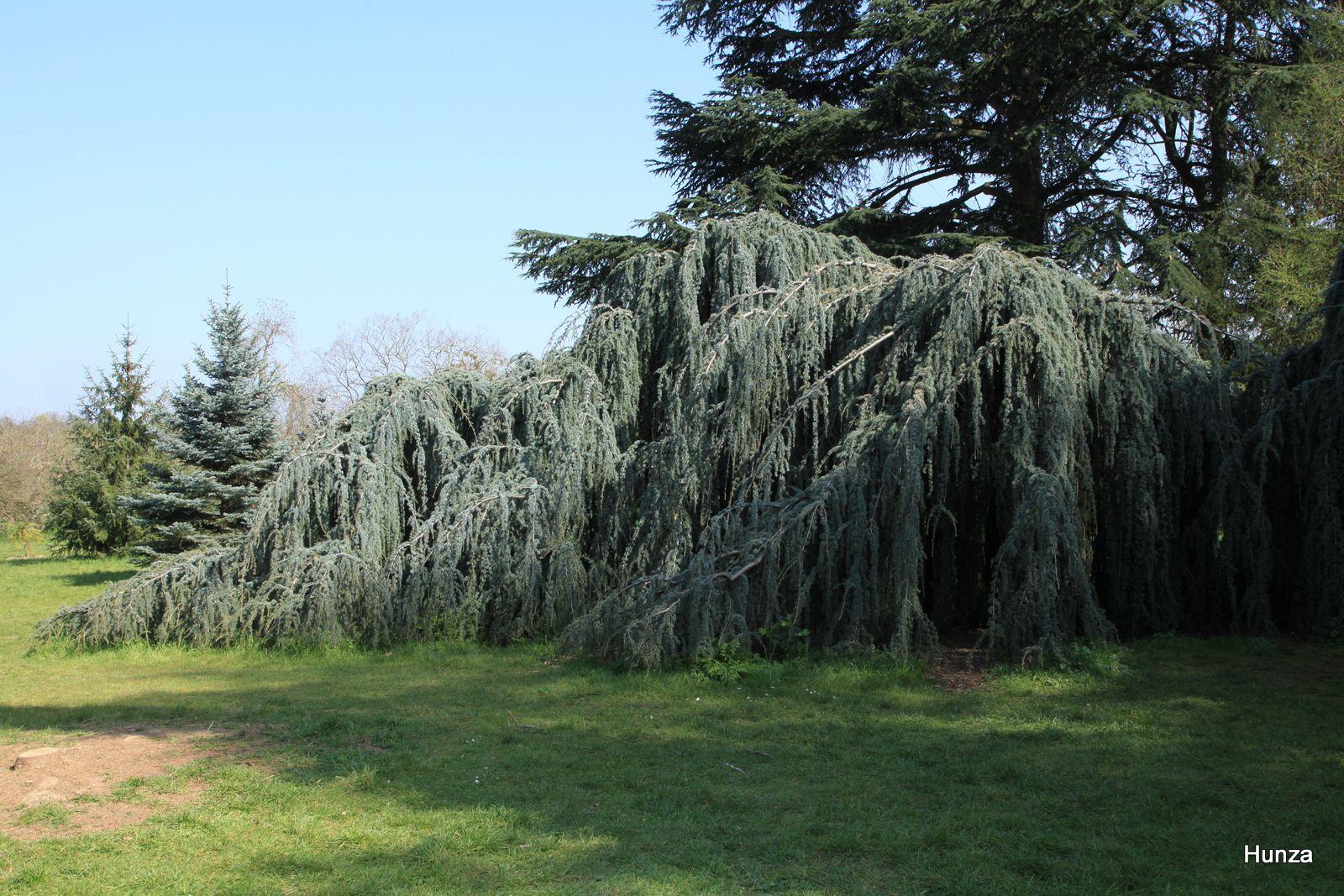 Arboretum de Paris, cèdre pleureur de l'Atlas