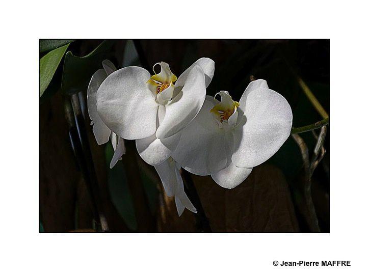 Les lumières évanescentes magnifient et renouvellent la beauté fragile des orchidées.