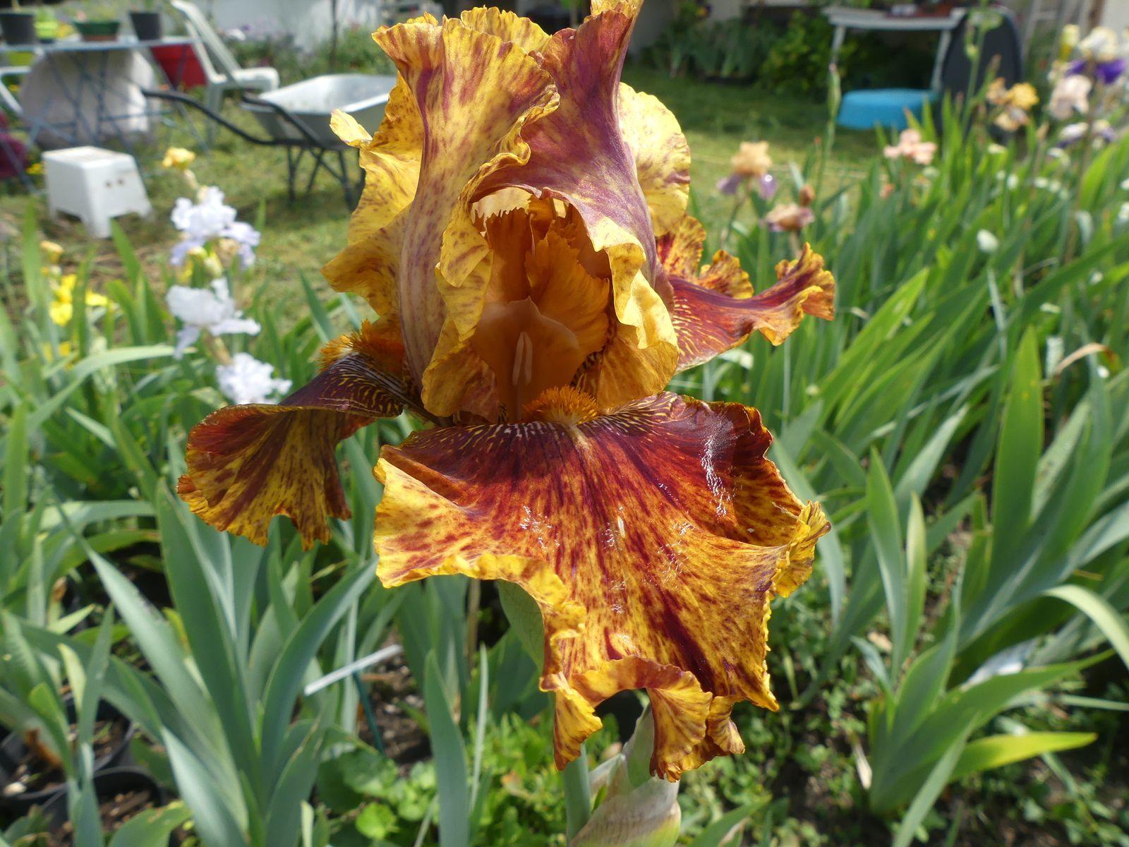 JP POUPIN création de Rose linda et une parcelle avec des iris en fleurs.( Photo mal prise par moi)