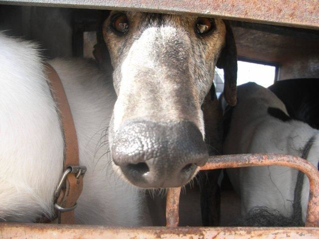 Album - TRANSPORT-DE-GALGOS-11-2010