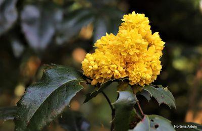 Les couleurs du mois d'avril dans le Jardin HortensiArtois. Un petit Jaune sans modération !!