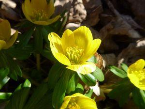 Eranthe d'hiver (encore appelée Aconit d'hiver, Hellébore d'hiver, Helléborine), Eranthis hyemalis