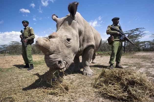 Imágenes de los últimos rinocerontes blancos, un animal en via de extinción, gracias a la acción del hombre.- El Muni.