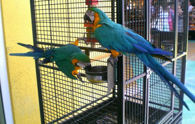 Cheap macaws for sale, parrot for sale
