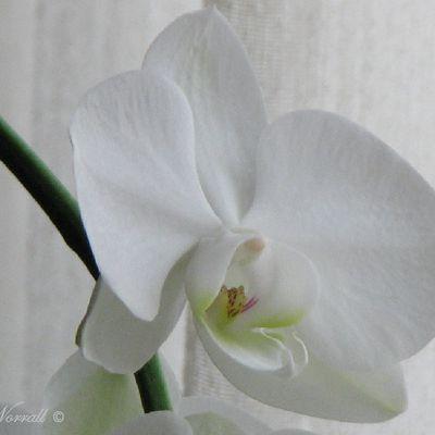 Mon orchidée blanche