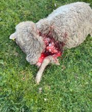 Castellet les Sausses  : attaque de  meute de loups