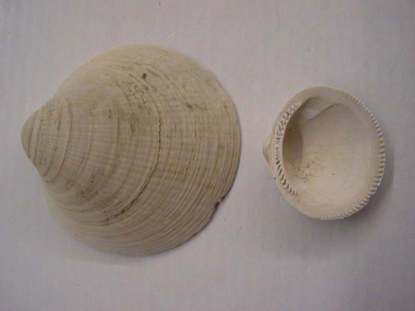 Album - Faune-Anvers-Invertebres-Pliocene