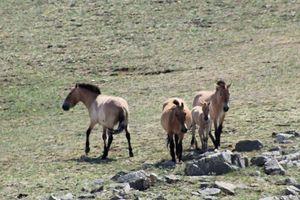 Dernier post mongol: nouvelles histoires de chevaux - Last post from Mongolia