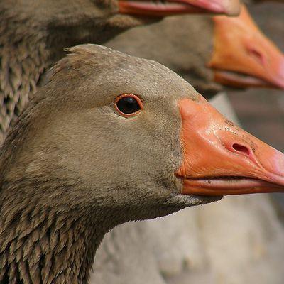 Grippe aviaire :: Les Landes repassent en « zone indemne »