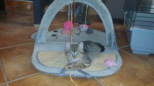 Joyeux, chaton mâle tigré, à l'adoption -> adopté