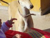 Mara lévrier galga de 2 ans chez sos chiens galgos