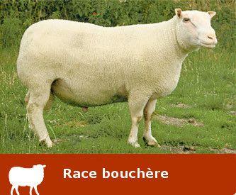 Race ovine LA CHARMOISE