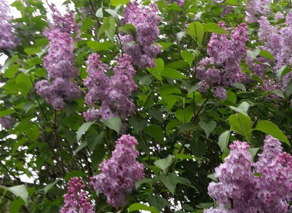Le lilas qui sent bon