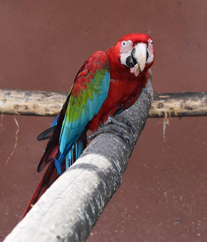 Scène de ménage chez les aras au zoo de La Teste...