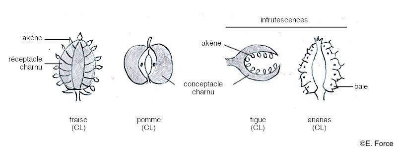 Les différents types de fruits complexes en coupe longitudinale (illustration : E. Force). CL : coupe longitudinale.