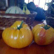 Barrême  :  Comment avoir de belles et grosses tomates ? Fernand nous raconte ...