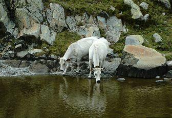 Ma photo préférée - A la rencontre des vaches blanches