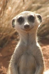 Connaissez-vous les suricates ?