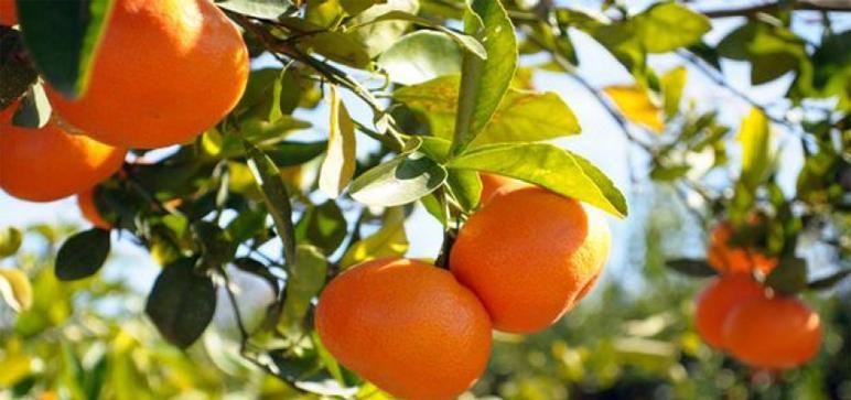 L'orange maltaise, produite en Tunisie, la reine des agrumes...