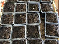 """À gauche, semis de Calendula? Au centre, semis d'Ashwaganda, qui signifie """"fort comme un cheval"""" une belle plante adaptogène. Withania somnifera de son nom latin, le ginseng indien. Il pousse très bien au jardin. Sous nos climats, ce n'est pas une vivace. Il se comporte comme une annuelle. Cette année, je vais essayer dans garder quelques plants au chaud. À droite, baies et feuilles d'ashwaganda de la saison dernière, ce qui m'a permis de faire des semis."""