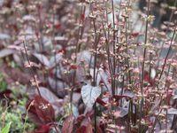 Sagine  -  Salvia lyrata 'purple Knock out'   - Scutellaria incana