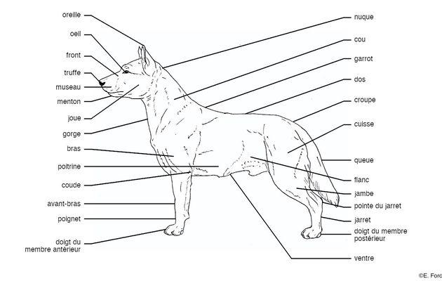 Glossaire illustré de mammalogie : Carnivores