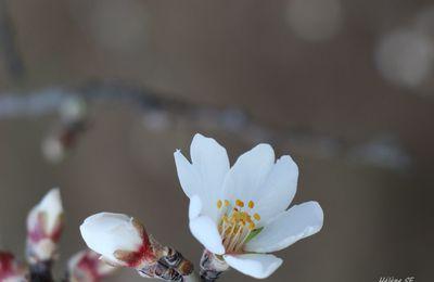 Fleurs d'amandier, les premières fleurs du printemps en Provence