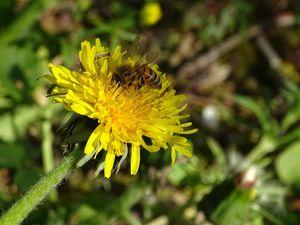 Une seule abeille peut visiter plus de 5 000 pissenlits : les yeux des insectes sont très sensibles à la couleur jaune…JLS (Cliquez pour agrandir)