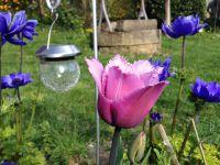La tulipe 'Blue Heron' n'est pas très bleue, mais identique à la photo de Dutch Garden. Les franges sur le bord des pétales sont d'une belle délicatesse
