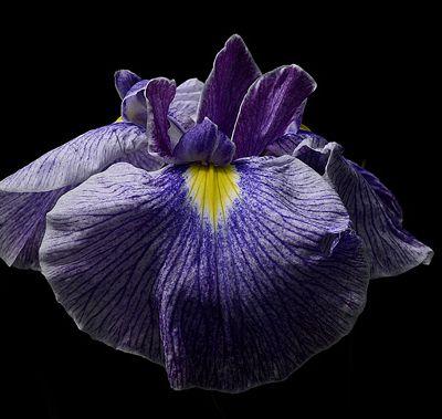 La saison des iris du Japon commence !