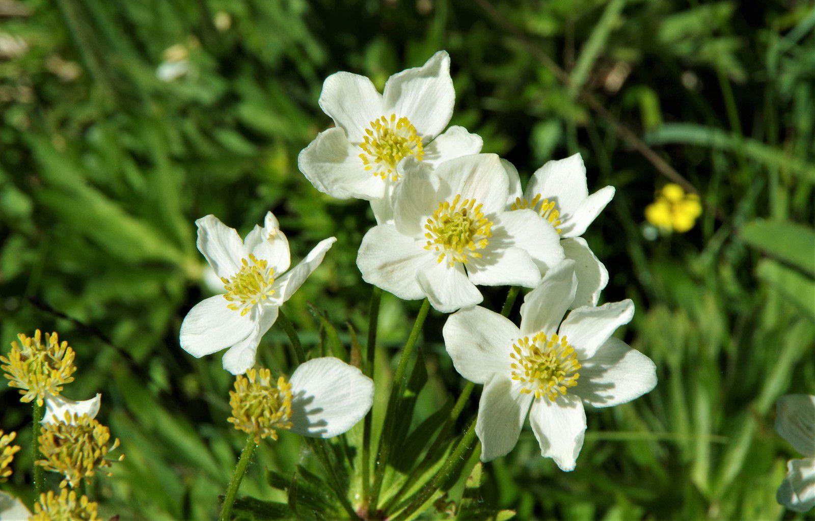 Anemone narcissiflora, anémone à fleurs de narcisse