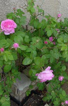 Pour le parfum d'une rose...