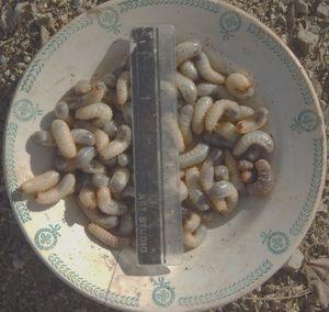 récolte de cétoines, dans un composteur de 0.5 m² de végétaux en décomposition