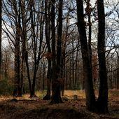 Des séquoias californiens à la rescousse de la forêt de Vierzon | Portfolios | Mediapart