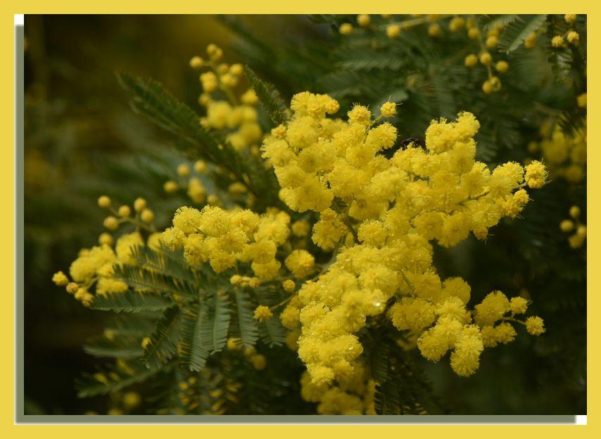 La route des mimosas