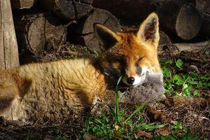 1430 renards sur le point d'être tués en Seine-Maritime