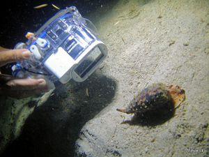 Calamar-siratus et Conus geographus-JayR