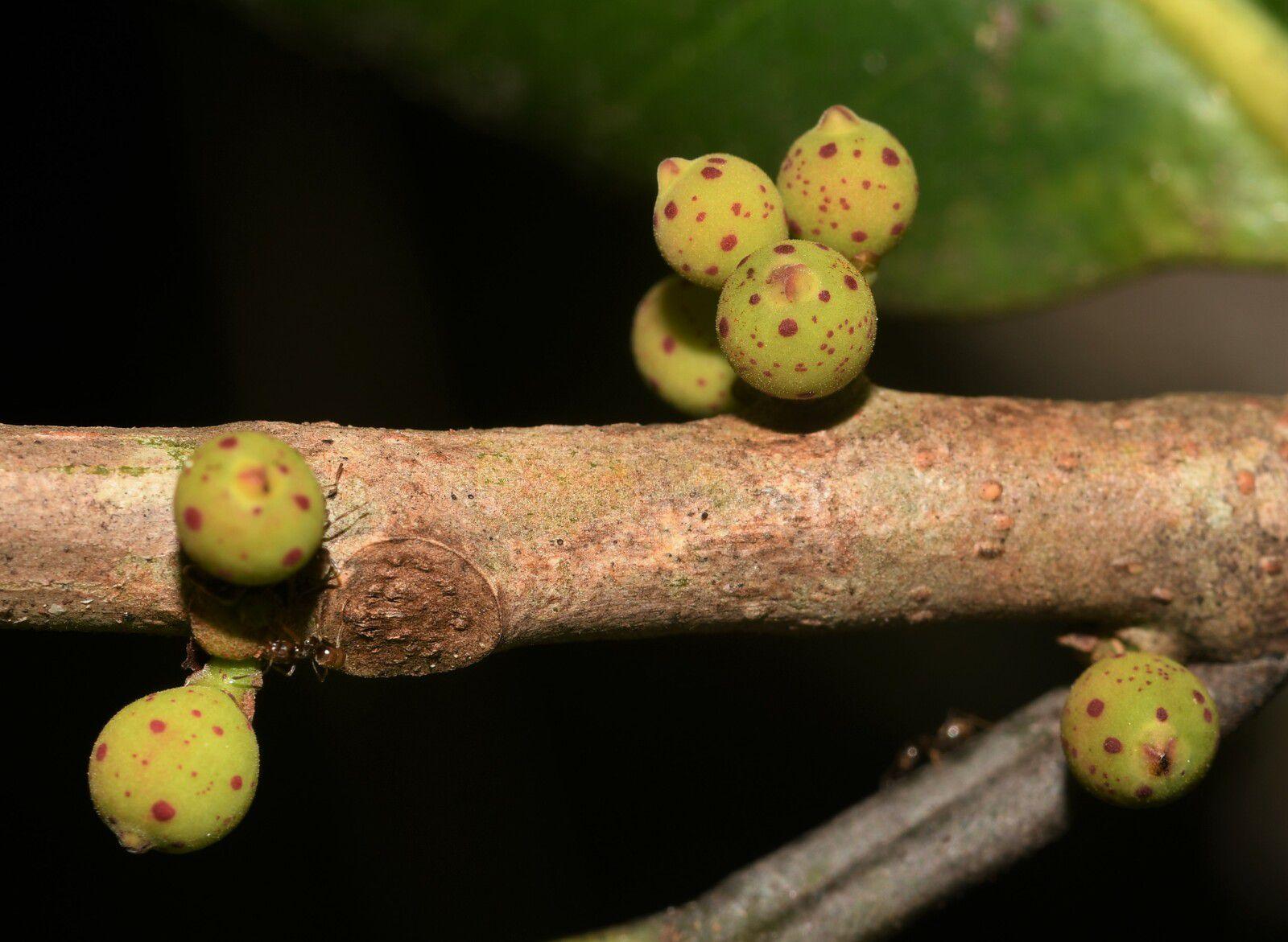 Ficus sp2 ( Ficus subapiculata ? )