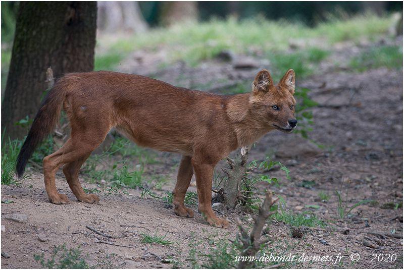 Les principaux prédateurs du cerf d'Eld sont le tigre, le léopard et dhole et le chacal.