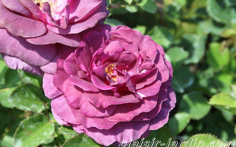 Le rosier Minerva