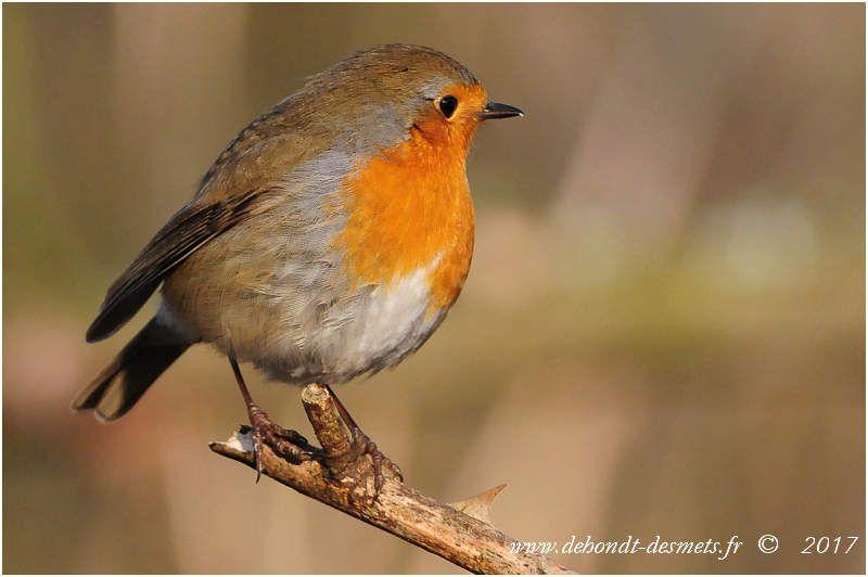 Quand la tempèrature baisse, le rouge-gorge gonfle son plumage pour se protèger du froid.