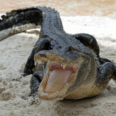 Visiter la Everglades Alligator Farm aux USA