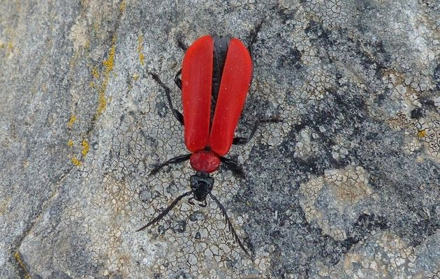 Le Cardinal, Pyrochroa coccinea