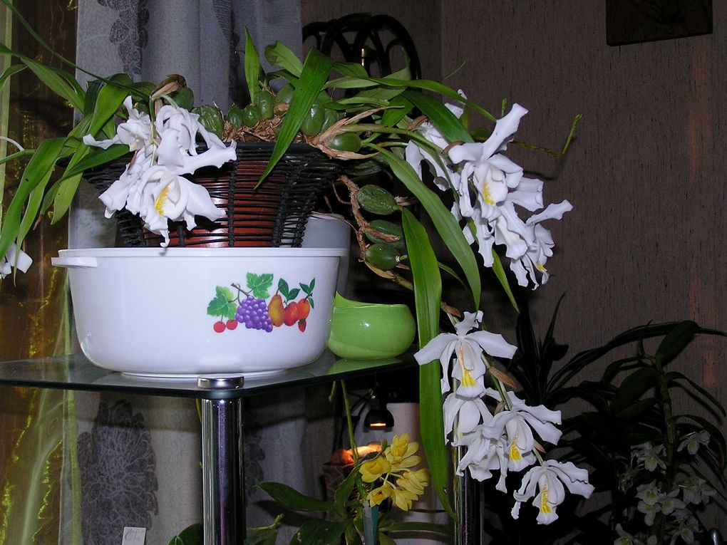 Genre qui regroupe environ 100espèces la plupart originaires d'Asie et de culture facile avec de longues floraisons parfumées.